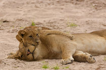 Lion cub hugs mother by Johan Elzenga