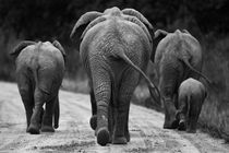 Elephants in black & white von Johan Elzenga