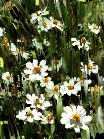 Daisies von Usha Shantharam