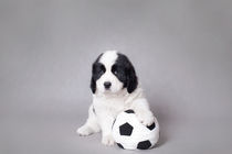 Little Landseer puppy with soccer ball portrait von Waldek Dabrowski