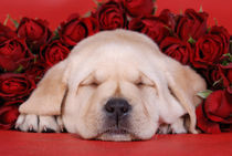 Sleeping Labrador puppy with roses by Waldek Dabrowski