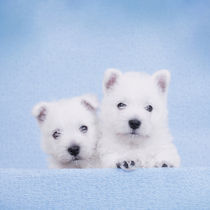 West Highland White Terrier puppies by Waldek Dabrowski
