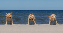 Three Labradors retriever on the beach von Waldek Dabrowski