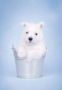 West Highland White Terrier puppy in the bucket von Waldek Dabrowski