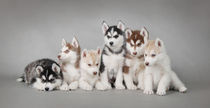 Husky dog puppies von Waldek Dabrowski