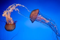 Jelly Fish by James Dricker