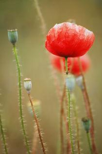 Poppy  by Katia Boitsova-Hošek