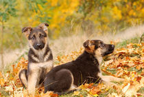 German shepherd dog puppies by Waldek Dabrowski