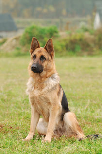 German shepherd dog by Waldek Dabrowski