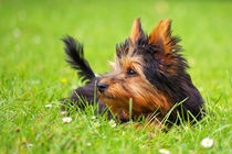 Little dog by AD DESIGN Photo + PhotoArt