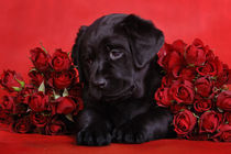Labrador puppy with red roses by Waldek Dabrowski