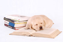 Sleeping labrador puppy with books by Waldek Dabrowski