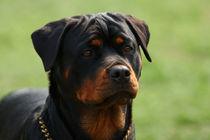 Rottweiler portrait von Waldek Dabrowski