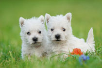 Two West highland white terrier puppies portrait von Waldek Dabrowski