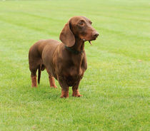 Dachshund dog  by Waldek Dabrowski