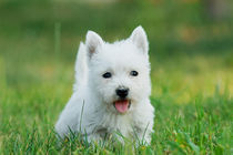 Puppy West highland white terrier von Waldek Dabrowski