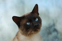 Siamese cat by Waldek Dabrowski