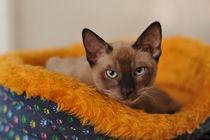 Siamese cat von Waldek Dabrowski