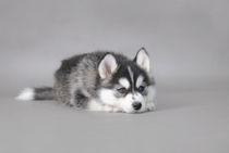 Husky puppy by Waldek Dabrowski