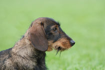 Wire-haired dachshund dog  by Waldek Dabrowski