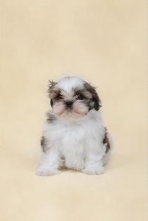 Shih tzu puppy by Waldek Dabrowski