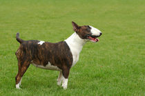 Bullterrier portrait at green by Waldek Dabrowski