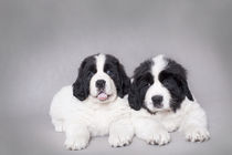 Two little Landseer puppies portrait von Waldek Dabrowski