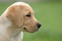 Labrador puppy von Waldek Dabrowski