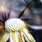 Dandelion-art-p