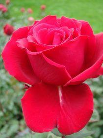 Rose für Christiane by Ka Wegner