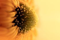 Sunflower-burst-iii