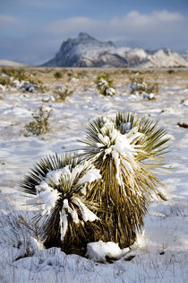 Iron Mountain and Cactus in Snow by Luc Novovitch