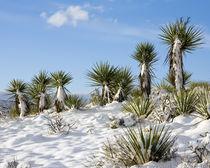 Yuccas in Winter von Luc Novovitch