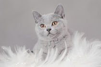 British shorthair kitten by Waldek Dabrowski