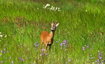Rehbock auf Blumenwiese-wildlife by Wolfgang Dufner