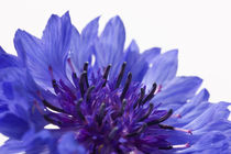 Blue Cornflower by Michael Kloth