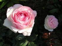 Eine Rose ist eine Rose... by Eugen Bill