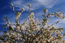 Kirschblüten  von tinadefortunata