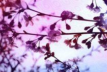 märchenhafte  Kirschblüten von tinadefortunata