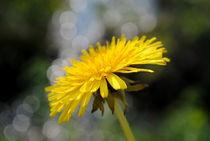 gelbe Blume von tinadefortunata