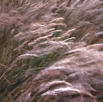 C-022-17-e-waving-grasses