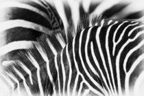 Zebra stripes by Johan Elzenga