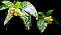 Ice-rain-on-2-flowers-and-leaves-v1-10-2-12