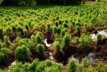 Sumpfgras by tinadefortunata
