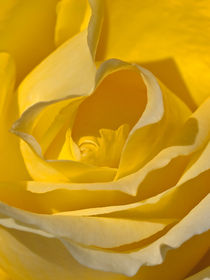 Yellow Rose von bill