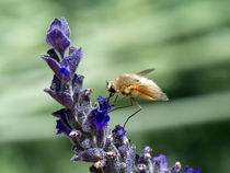 Lavender & Bee by bill