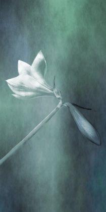 amaryllis 3 von paulapanther