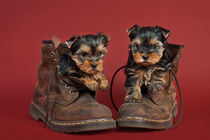 Yorkshire terrier puppies by holka