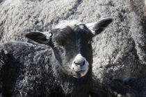 Small black lamb lying next to his mother von kbhsphoto