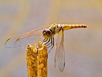 Dragonfly by bill